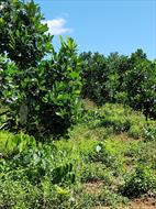 Bán vườn sầu riêng, mít thái. Diện tích (15.000)m2 tại huyện Đạ Huoai, lâm Đồng